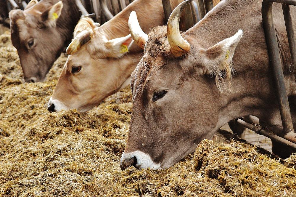 cows-1320871_1920